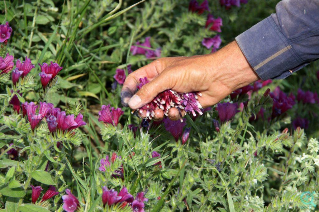 تولید محتوا برای سایت گیاهان دارویی